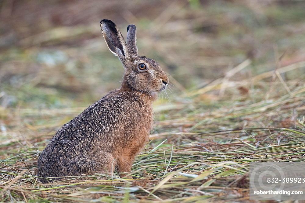 European hare (Lepus europaeus) pricks its ears, Easter hare, mammal, Oldenburg Muensterland, Germany, Europe