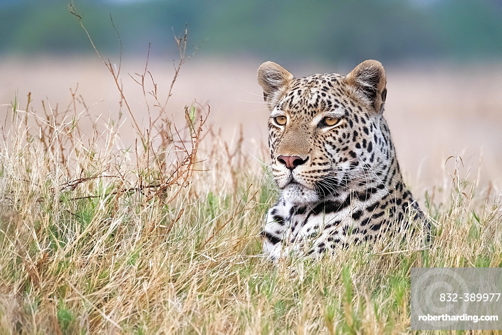 African leopard (Panthera pardus) portrait in the Okavango Delta, Botswana, Africa