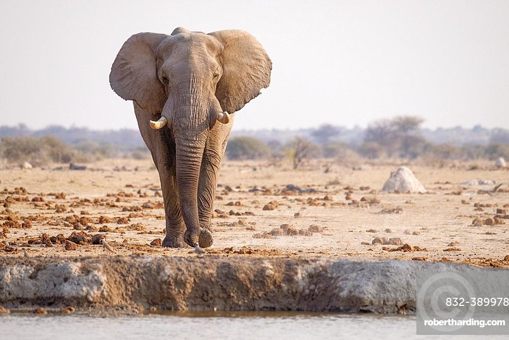 African elephant (Loxodonta africana) at a waterhole in Nxai Pan National Park, Botswana, Africa