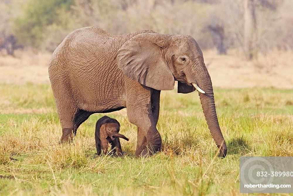 African elephant (Loxodonta africana) mother and calf walk through grassland in the Okavango Delta in Botswana