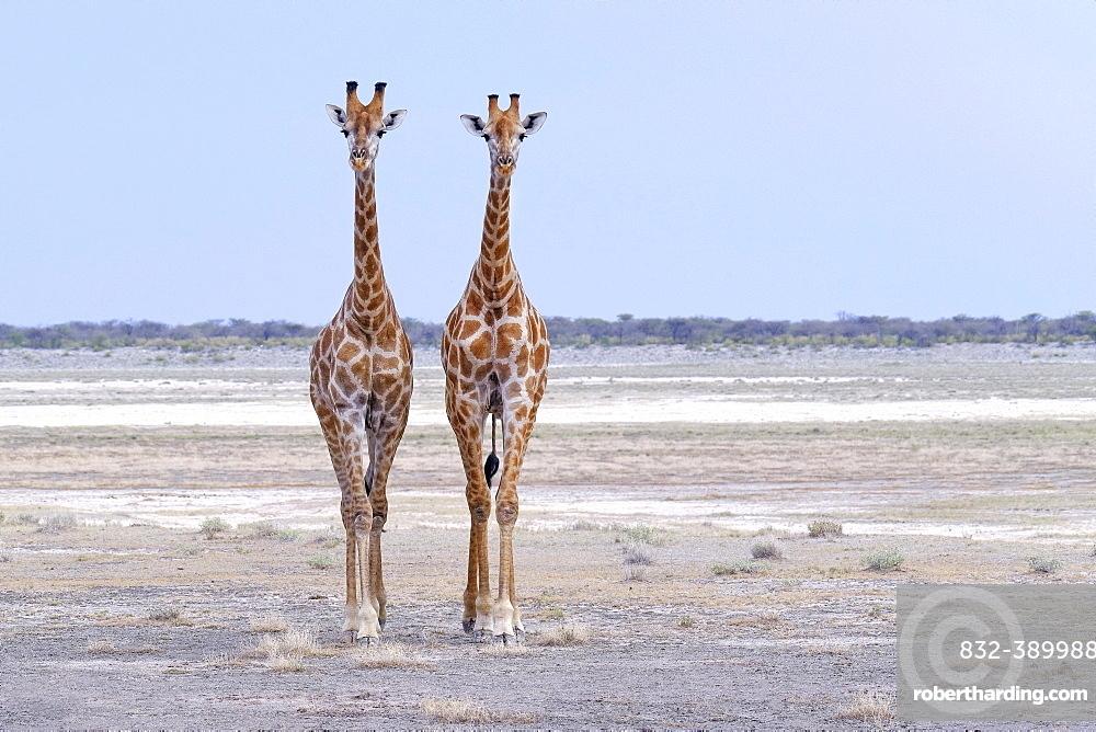 Two Giraffes (Giraffa camelopardalis) standing on the salt pan in Etosha National Park, Namibia, Africa