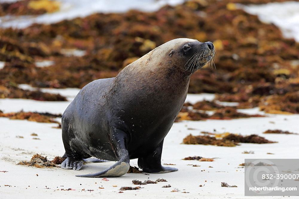 Australian sea lion (Neophoca cinerea), adult, male, on beach, running, Seal Bay Conservation Park, Kangaroo Island, South Australia, Australia, Oceania