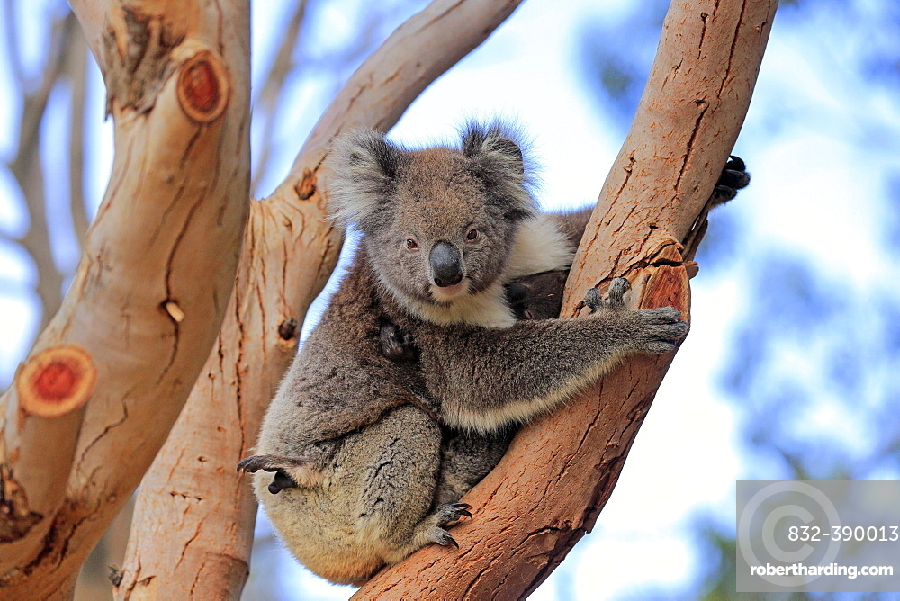 Koala (Phascolarctos cinereus), mother with young sitting on tree, Parndana, Kangaroo Island, South Australia, Australia, Oceania