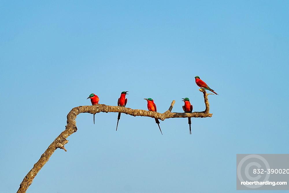 Crimson pints (Merops nubicoides) sitting on branch, Zambia, Africa