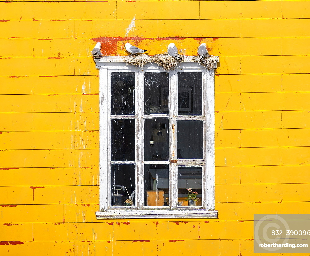 Nesting gulls on white window frame, yellow house wall, Lofoten, Norway, Norway, Europe