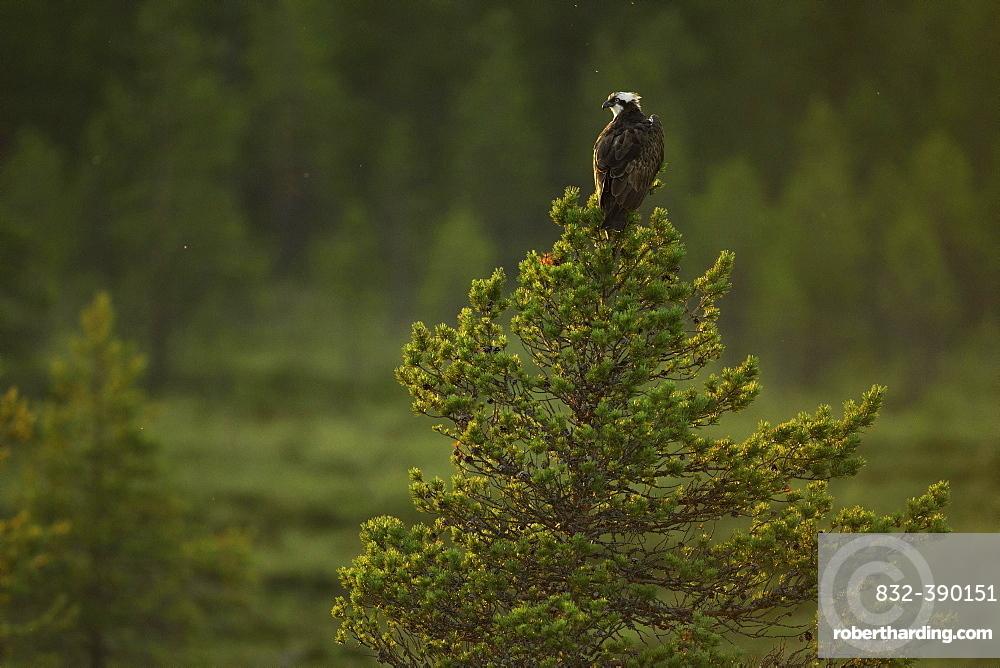 Western osprey (Pandion haliaetus) sitting on pine tree in moorland, Kainuu, Finland, Europe
