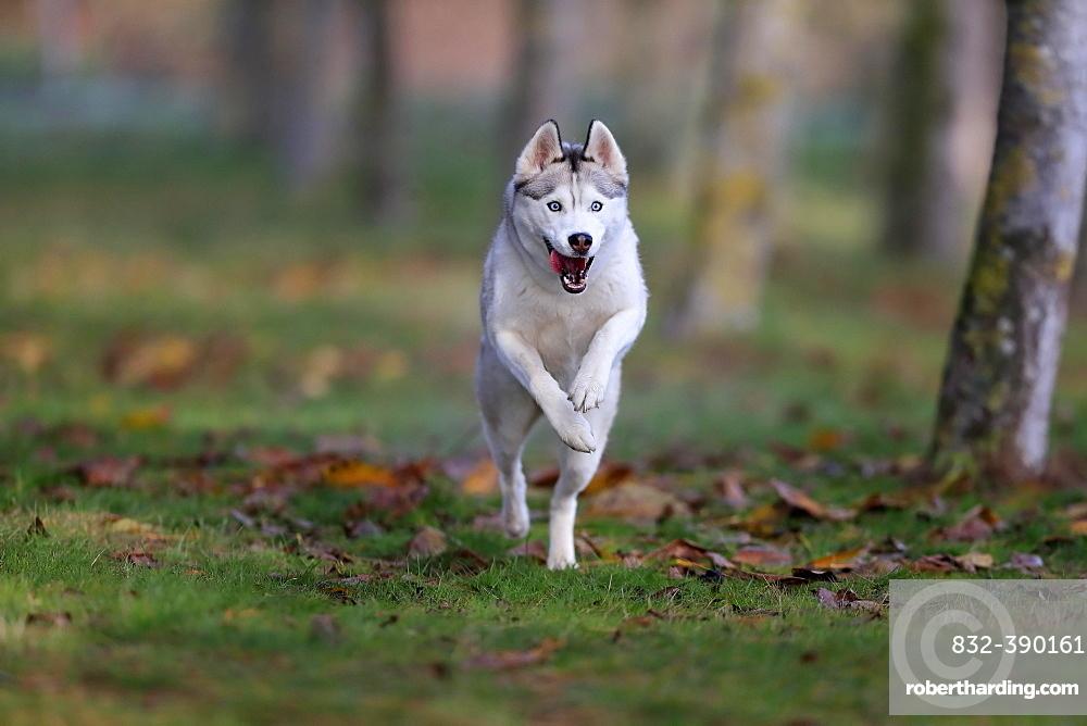 Siberian husky (Canis lupus familiaris), adult, female, running, sled dog, Rhineland-Palatinate, Germany, Europe