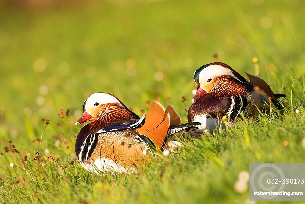 Mandarin ducks (Aix galericulata) in a meadow, pair of animals, Hesse, Germany, Europe