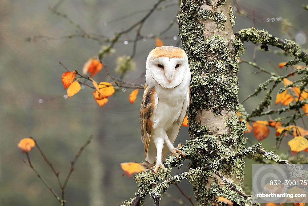 Common barn owl (Tyto alba), adult, alert, in autumn, on tree, Bohemian Forest, Czech Republic, Europe