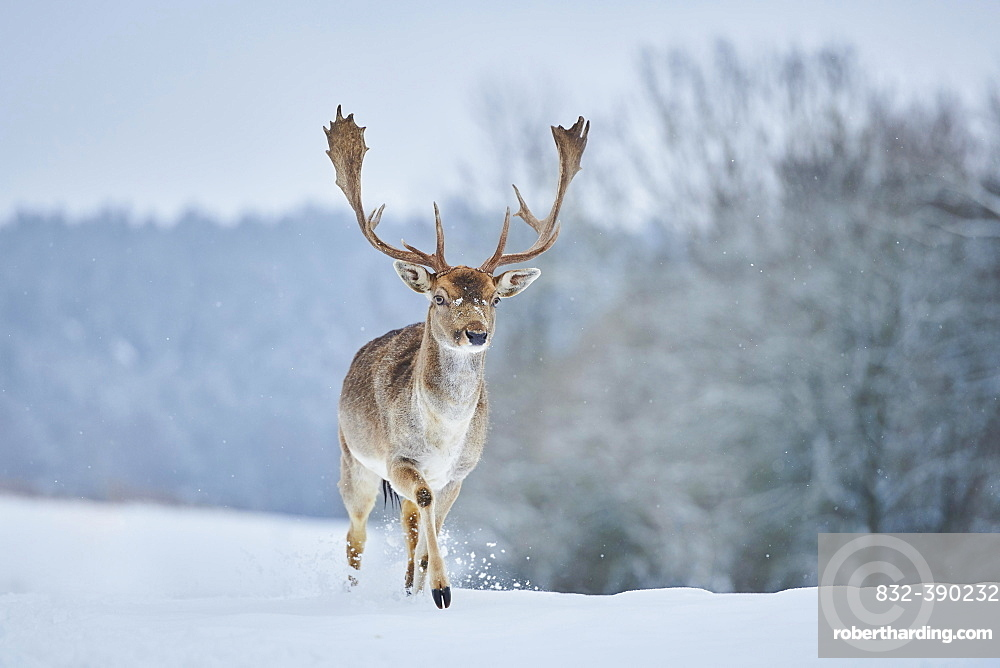 Fallow deer (Dama dama) stag running on a snowy meadow, Bavaria, Germany, Europe