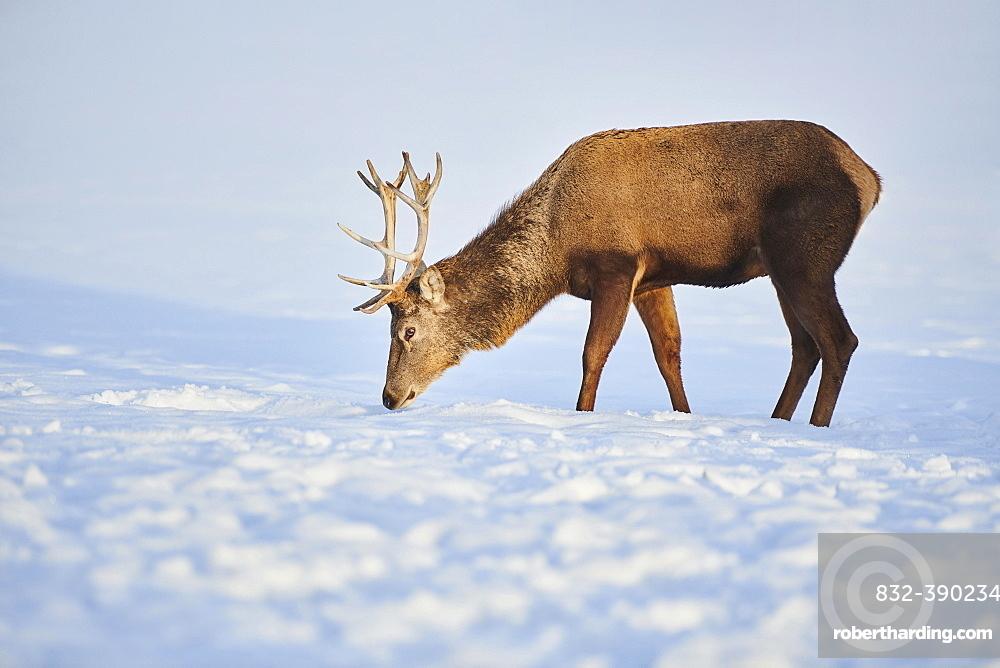 Red deer (Cervus elaphus) stag standing on a snowy meadow, Bavaria, Germany, Europe