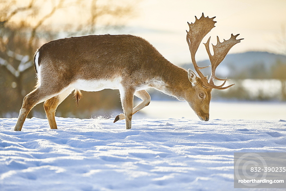Fallow deer (Dama dama) stag on a snowy meadow, Bavaria, Germany, Europe