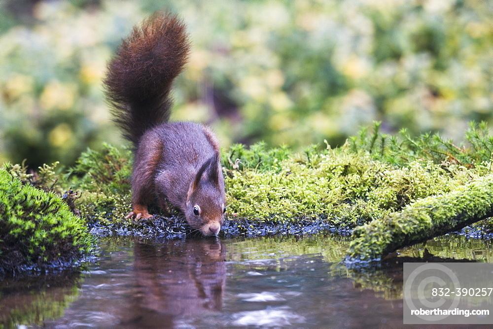 Eurasian red squirrel (Sciurus vulgaris), drinking, Emsland, Lower Saxony, Germany, Europe