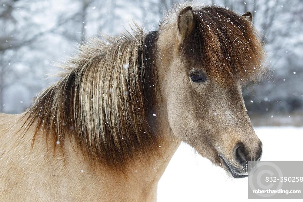 Icelandic horse (Equus islandicus), mare in snow, animal portrait in winter, Schleswig-Holstein, Germany, Europe