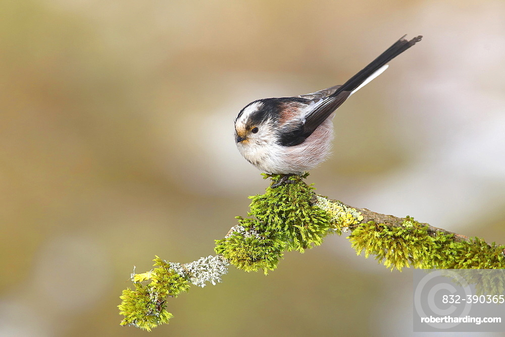 Long-tailed tit (Aegithalos caudatus), sitting on a branch covered with moss, Siegerland, North Rhine-Westphalia, Germany, Europe