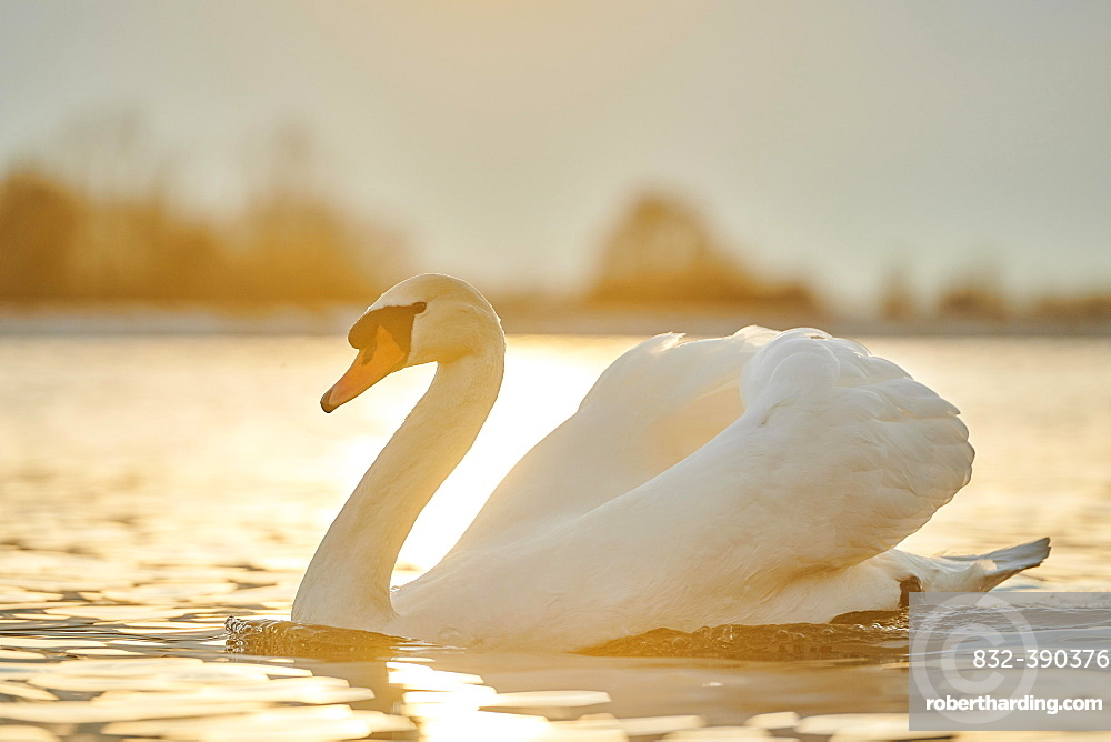 Mute swan (Cygnus olor) swimming on donau river, Bavaria, Germany, Europe