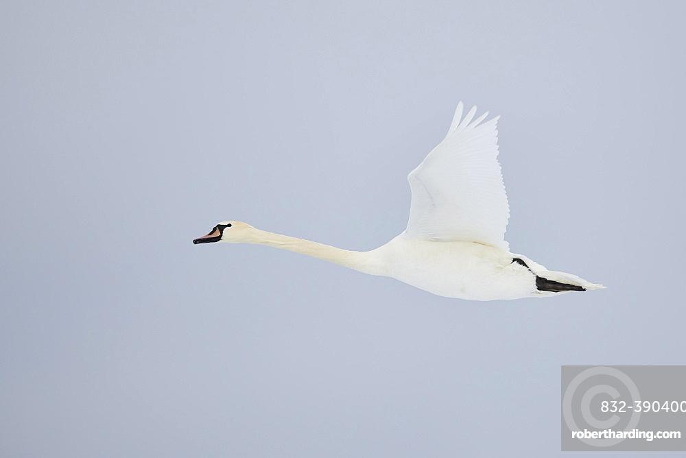 Mute swan (Cygnus olor), Flying, Bavaria, Germany, Europe