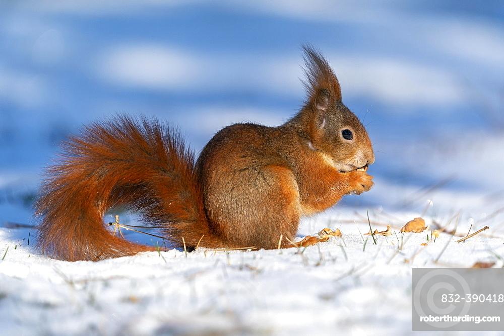 Squirrel (Sciurus vulgaris) foraging, wildlife, Germany, Europe