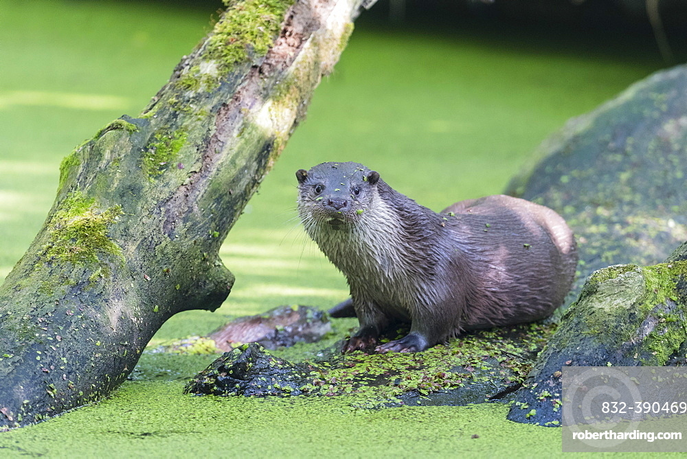 European otter (Lutra lutra), Lower Saxony, Germany, Europe