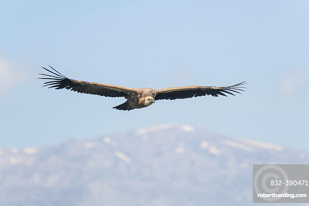 Griffon vulture (Gyps fulvus), in flight, Crete, Greece, Europe