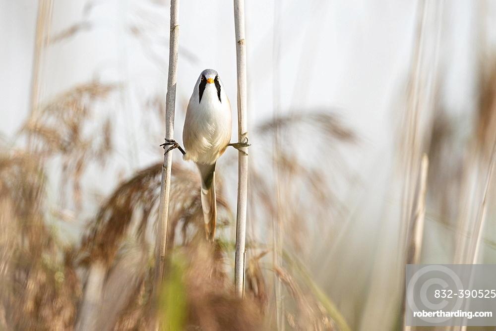 Bearded reedling (Panurus biarmicus), adult male straddling between two reed stalks, Federsee lake, Bad Buchau, Baden-Wuerttemberg, Germany, Europe