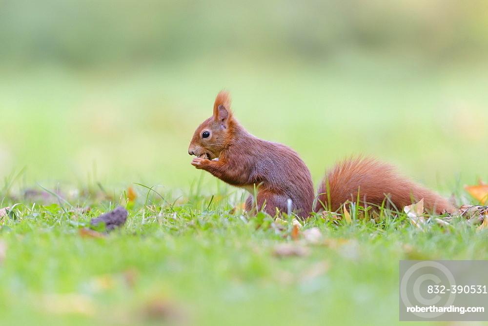Eurasian red squirrel (Sciurus vulgaris), Lower Saxony, Germany, Europe