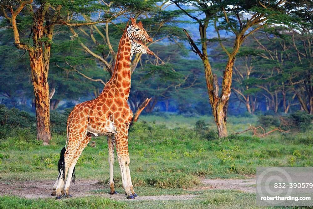 Rothschild's Giraffes (Giraffa camelopardalis rothschildi), group, Lake Nakuru, Kenya, Africa