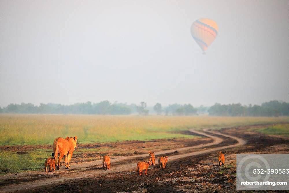 Lion (Panthera leo), family, mother, babies, hot air balloon, fog, savanna, Masai Mara, Kenya, Africa