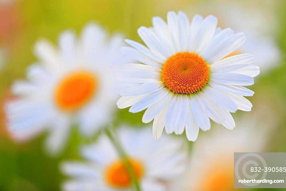 Ox-eye daisy (Leucanthemum vulgare), daisy, meadow meadows, Mengen, Upper Danube nature park Park, Baden-Wuerttemberg, Germany, Europe