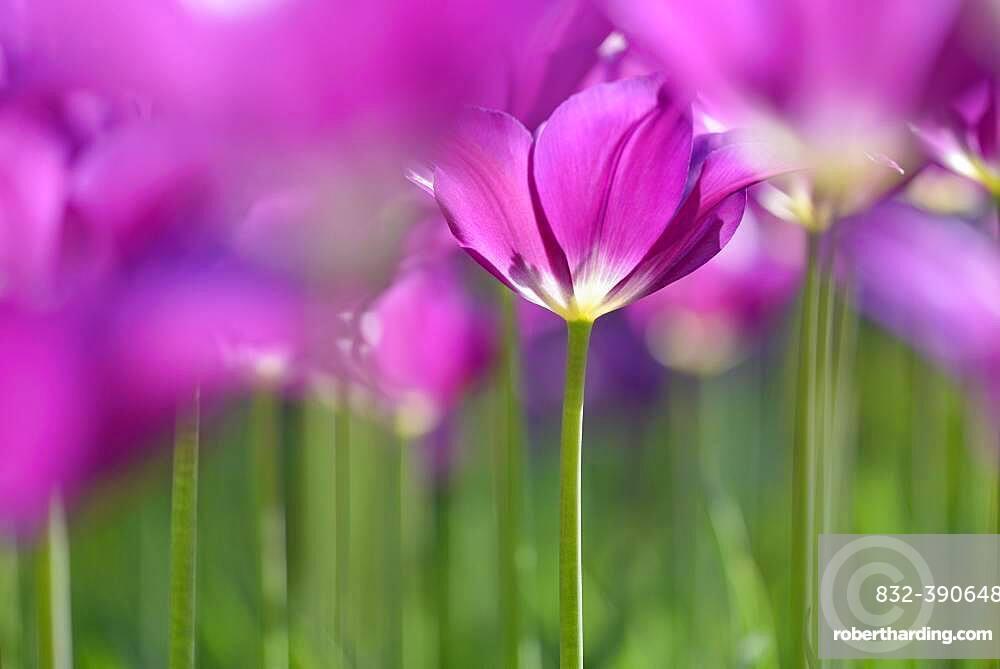 Tulips (Tulipa), purple flowers, North Rhine-Westphalia, Germany, Europe
