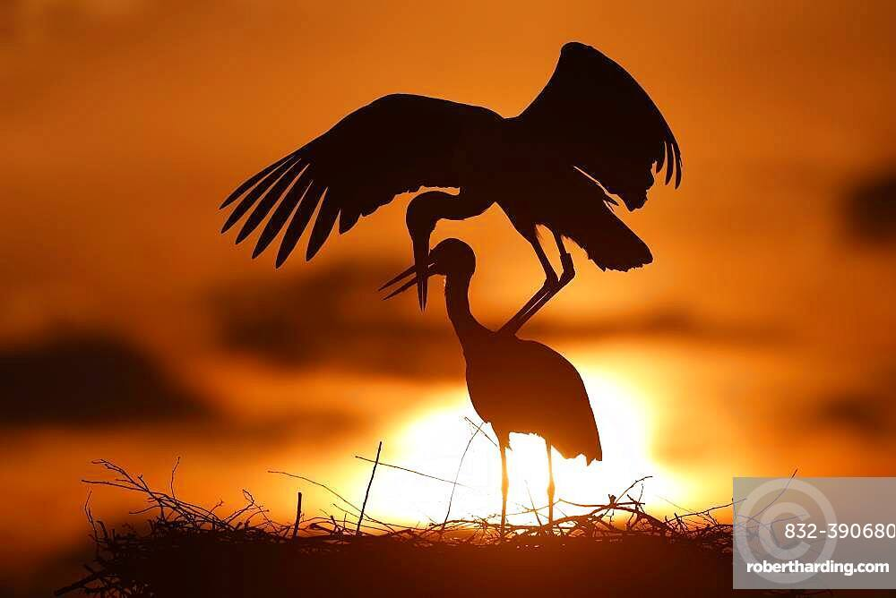 White stork (Ciconia ciconia) mating at sunset on the nest, Germany, Europe
