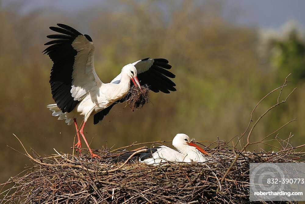White stork (Ciconia ciconia) flying on the nest, Germany, Europe