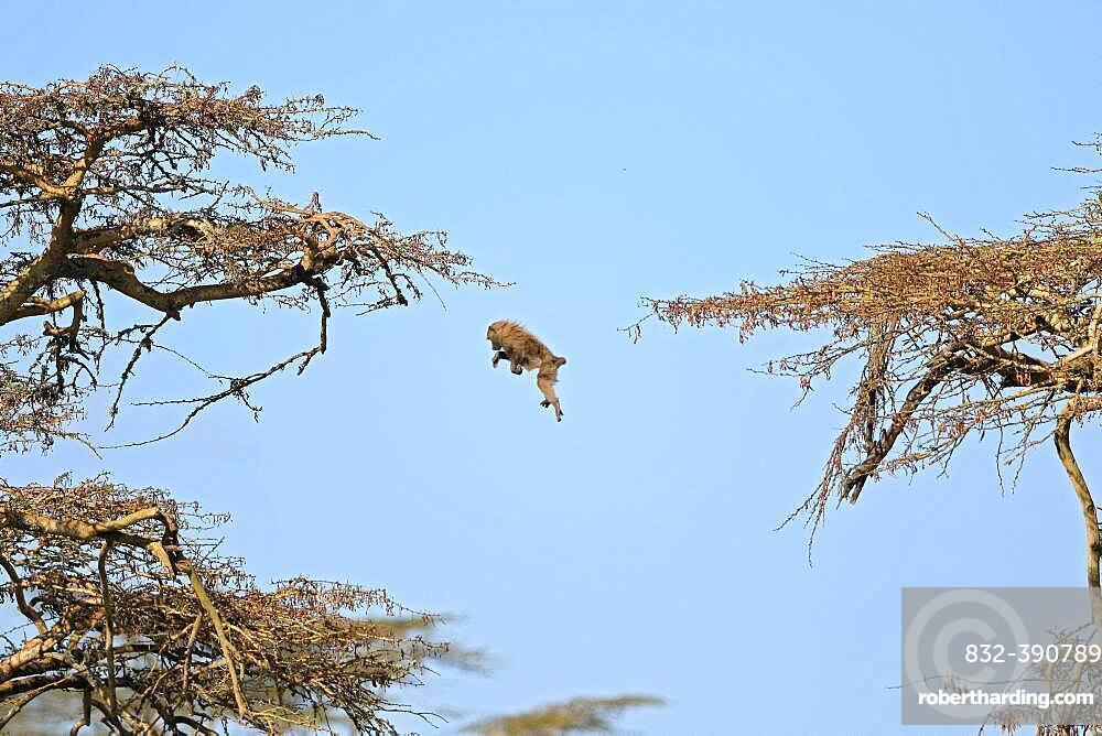 Olive baboon (Papio anubis) jumps from tree to tree, Solio Ranch Wildlife Sanctuary, Kenya, Africa