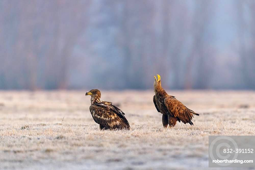 Young white-tailed eagles (Haliaeetus albicilla) sitting in a meadow in winter landscape, calling, Kutno, Poland, Europe