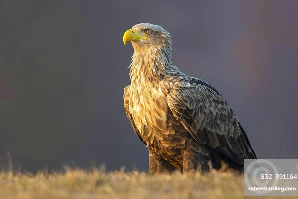 Old white-tailed eagle (Haliaeetus albicilla) secured, Kutno, Poland, Europe