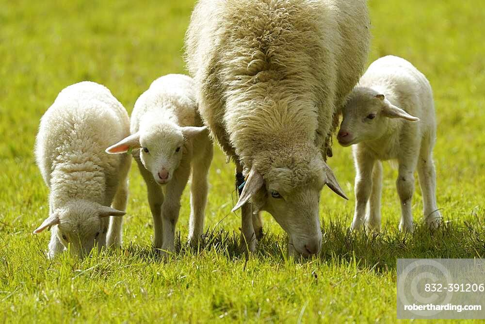 Forest sheep, three lambs with mother grazing on a pasture, Germany, Europe