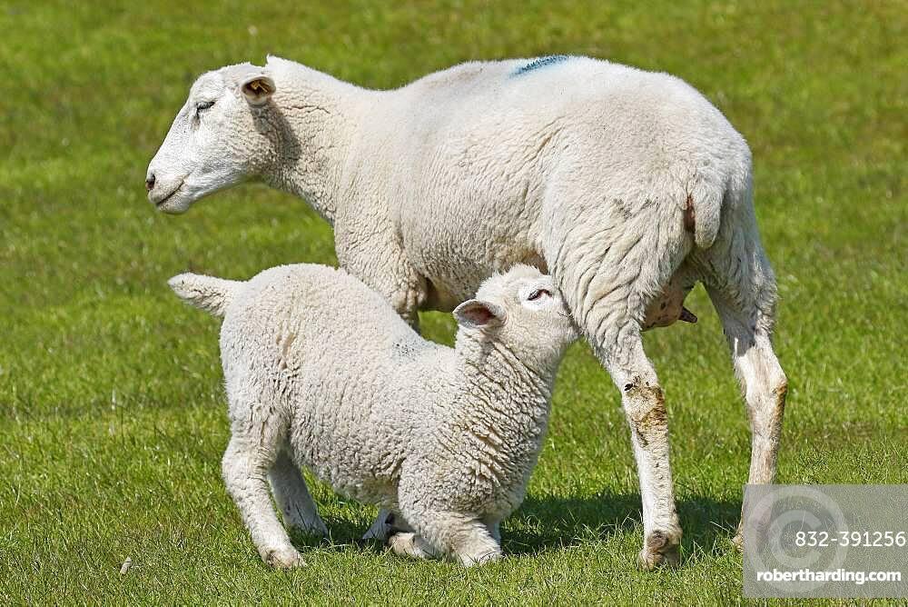 Domestic sheep (Ovis gmelini aries) suckling lamb, animal child, Schleswig-Holstein, Germany, Europe