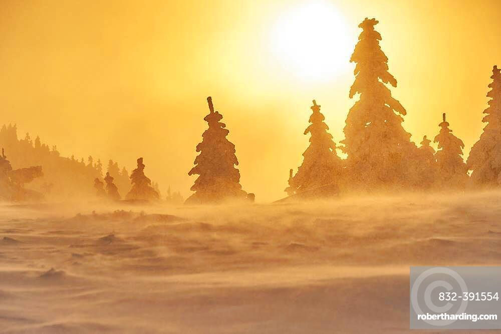 European spruce (Picea abies) trees in winter at sunrise, mount Arber, Bavarian Forest, Bavaria, Germany, Europe