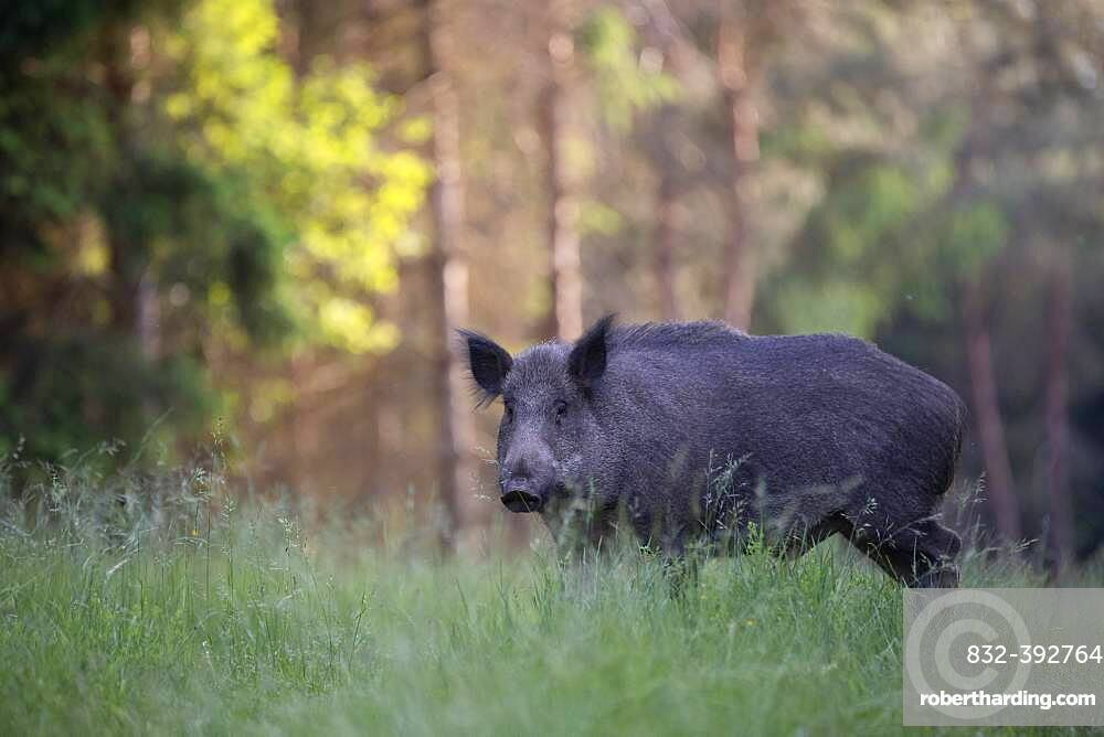 Boar in a clearing in summer, Wittlich, Rhineland-Palatinate, Germany, Europe