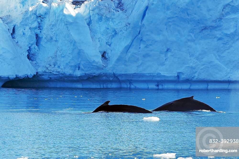 Two humpback whales, icebergs in the background, Disko Bay, Ilulissat, Greenland, Denmark, North America