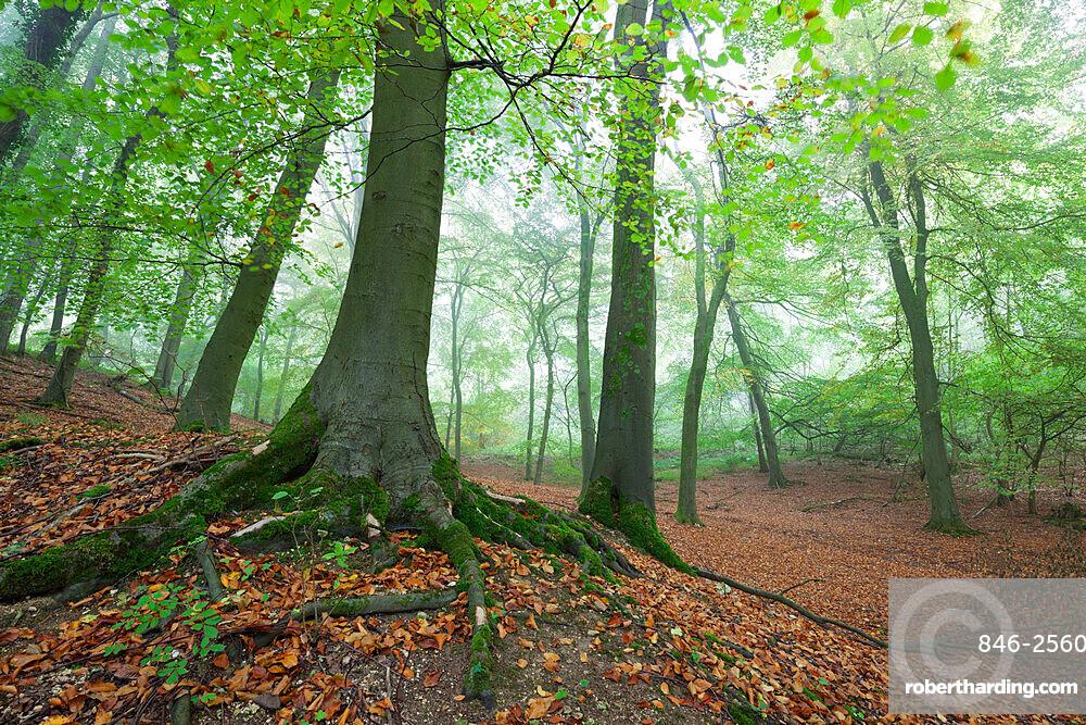Autumnal woodland in mist, near Winchcombe, Cotswolds, Gloucestershire, England, United Kingdom, Europe