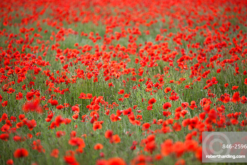 Field of red poppies, Chipping Campden, Cotswolds, Gloucestershire, England, United Kingdom, Europe