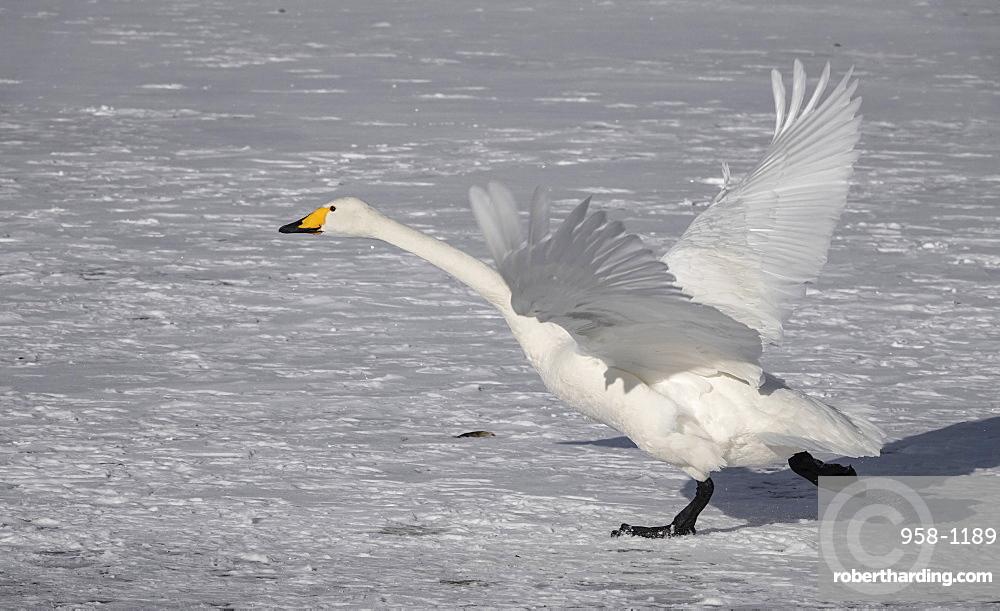 Hooper swan taking off, Lake Kussharo, Akan National Park, Hokkaido, Japan, Asia