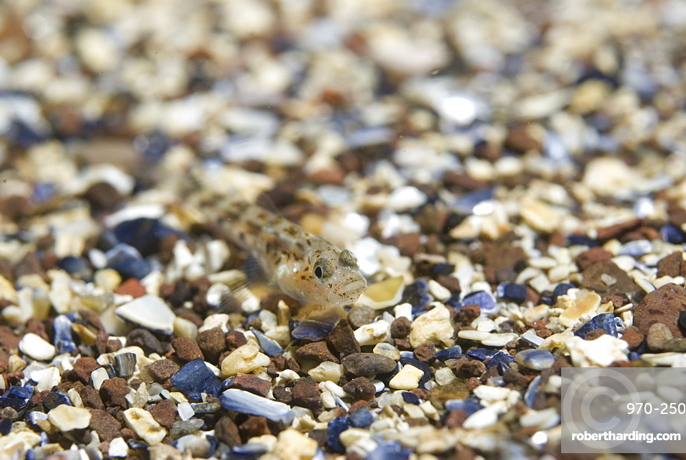 Sand Goby (Pomatoschistus minutus), small fish with camouflage markings same as gravel seabed it sits on,  St Abbs, Scotland, UK North Sea