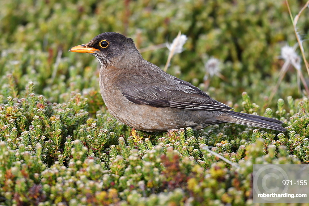 Adult Austral thrush (Turdus falcklandii) of the subspecies Falkland thrush (Turdus falcklandii falcklandii), Falkand Islands, South America