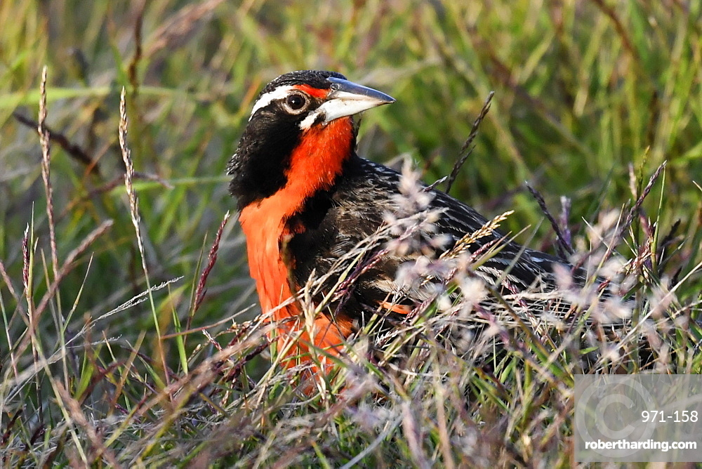 Long-tailed meadowlark (Leistes loyca) in its grassland habitat, Falkland Islands, South America