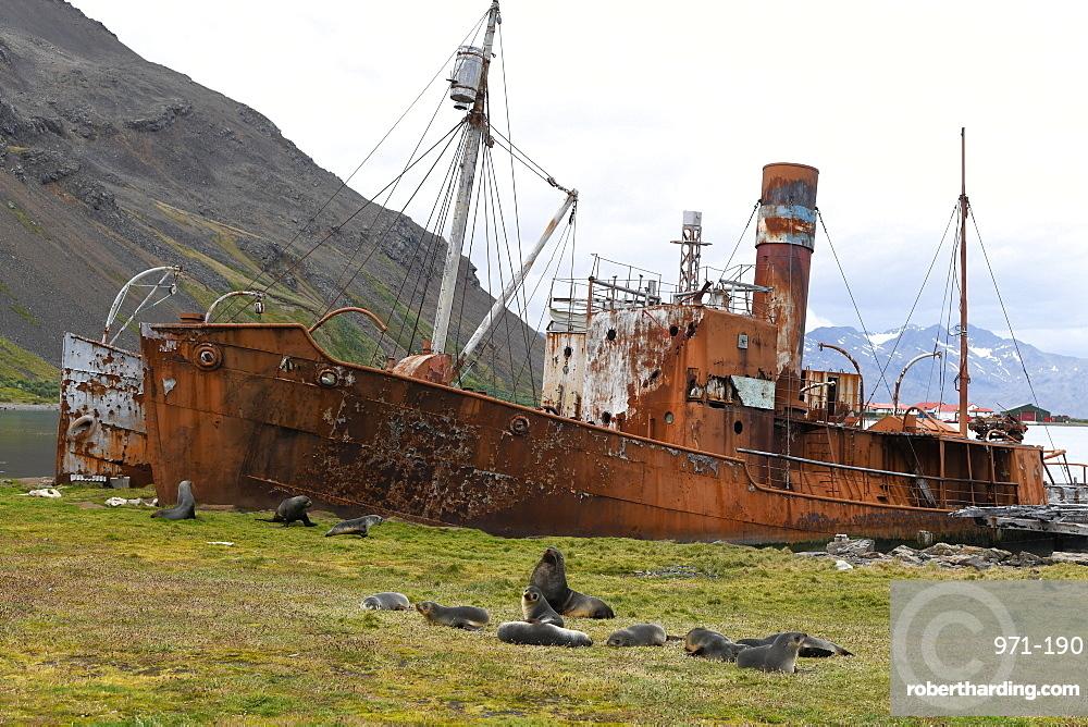 Group of Antarctic fur seals (Arctocephalus gazella) resting in front of abandoned whaling ships, Grytviken, South Georgia, Polar Regions