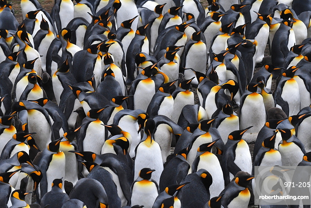 Densely packed king penguin (Aptenodytes patagonicus) colony at Volunteer Point, Falkland Islands, South America
