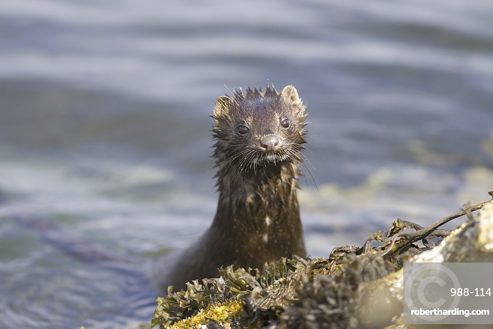 American mink (Mustela vison). Non-native species in the UK considered a threat to ground-nesting birds and water voles in particular. Widespread as a result of escapes from fur farms since the 1950s. Hebrides, Scotland