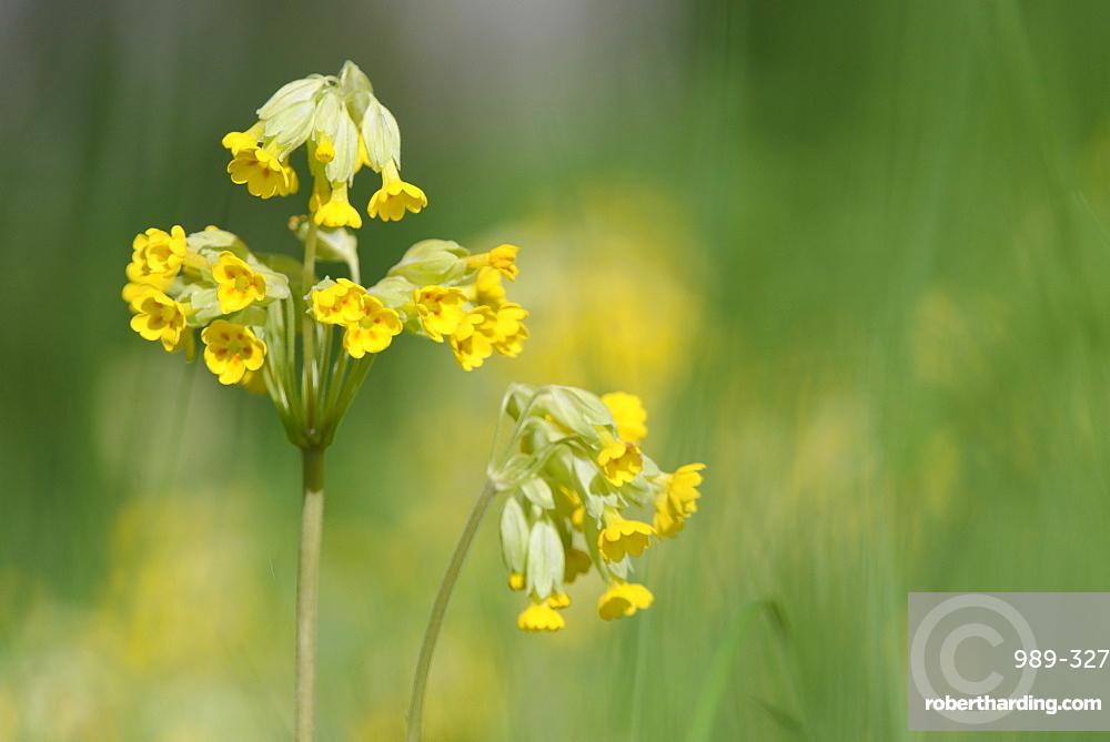 Cowslips (Primula veris) flowering in woodland, Wiltshire, England, United Kingdom, Europe